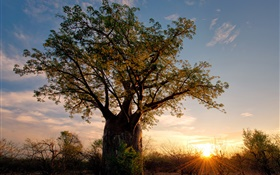 Africa, Zimbabwe, savanna, baobab, sunset, sun rays HD wallpaper