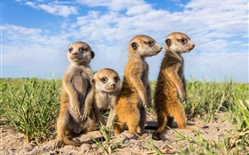 Animals family, meerkats HD wallpaper