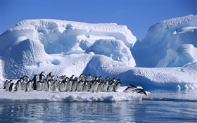 Antarctica Adelie penguins, snow, ice HD wallpaper