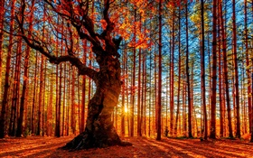 Beautiful sunset forest, trees, red leaves, autumn