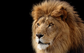 Big cat, lion HD wallpaper
