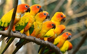 Birds close-up, yellow parrots HD wallpaper