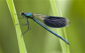 Blue dragonfly HD wallpaper