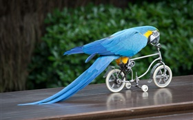 Blue feather parrot riding bike HD wallpaper