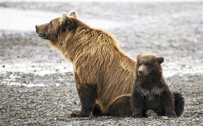Brown bears family Wallpapers Pictures Photos Images