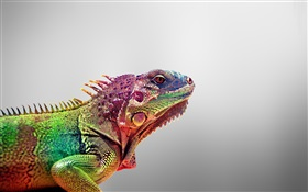 Chameleon close-up, gray background HD wallpaper