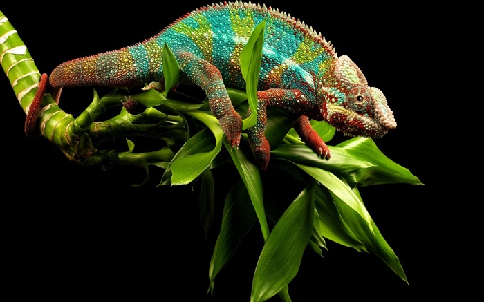 Chameleon dazzling colors Wallpapers Pictures Photos Images