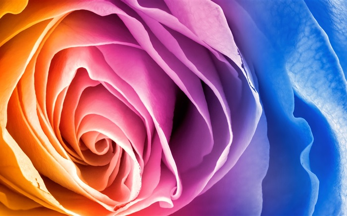 Colorful petals rose flower Wallpapers Pictures Photos Images
