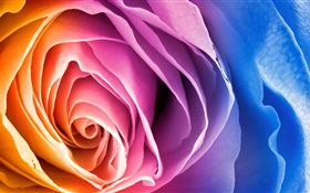 Colorful petals rose flower HD wallpaper