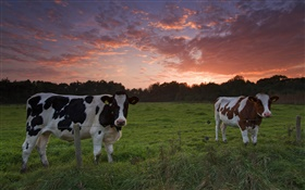 Cows, sunset, grass HD wallpaper