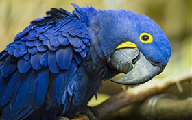 Curious blue parrot HD wallpaper