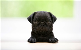 Cute black dog HD wallpaper