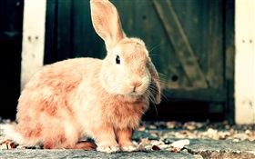 Cute brown rabbit HD wallpaper