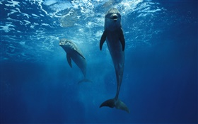 Dolphins at the underwater HD wallpaper