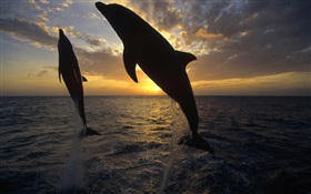 Dolphins jump out of the water, sunset HD wallpaper