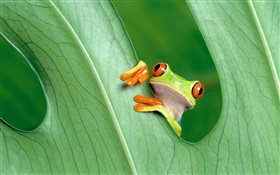 Frog, leaf HD wallpaper