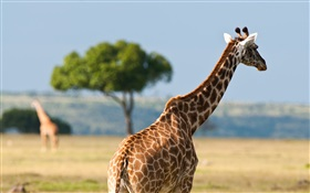 Giraffes, Africa wildlife HD wallpaper