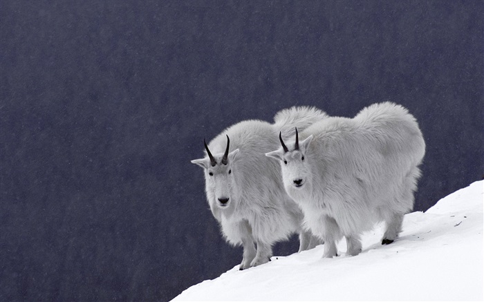 Goat on the snow Wallpapers Pictures Photos Images