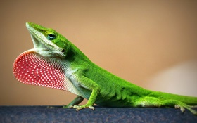 Green lizard close-up HD wallpaper
