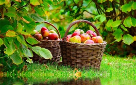 Harvest apples HD wallpaper