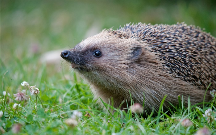 Hedgehog in grass Wallpapers Pictures Photos Images