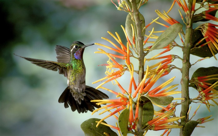 Hummingbird gather nectar Wallpapers Pictures Photos Images
