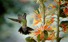 Hummingbird gather nectar HD wallpaper