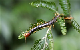 Insect close-up, centipedes HD wallpaper