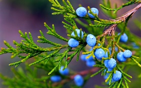 Juniper, blue berries, water drops HD wallpaper