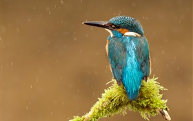 Kingfisher, rain, tree branch HD wallpaper