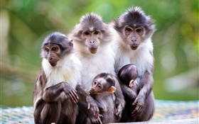 Monkey family, mother, baby HD wallpaper