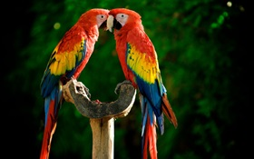 One pair of parrots HD wallpaper