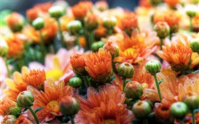 Orange daisies flowers