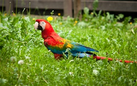 Parrot in the grass HD wallpaper