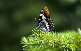 Pine twigs, butterfly HD wallpaper