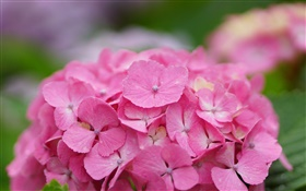 Pink hydrangea flowers HD wallpaper