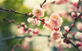 Pink plum flowers, bokeh HD wallpaper