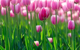 Pink tulip flowers, dawn
