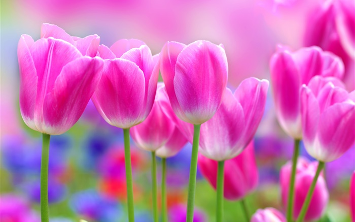 Pink tulips flowers, blur background Wallpapers Pictures Photos Images