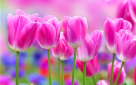 Pink tulips flowers, blur background HD wallpaper