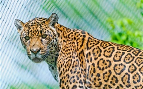 Predators, jaguar, look