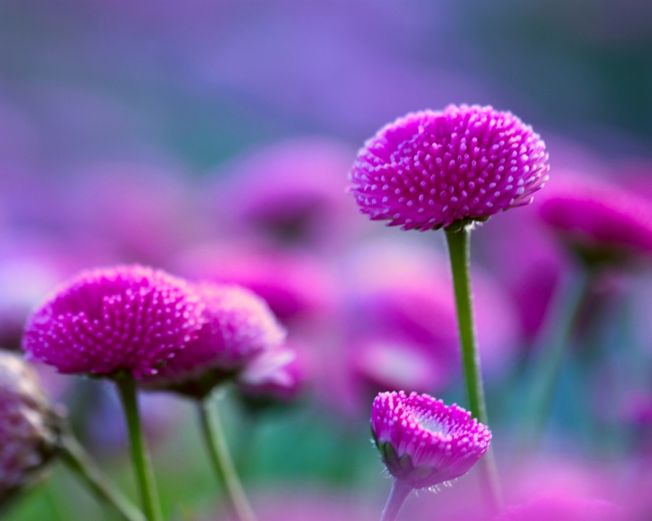 Purple flowers and fuzzy 1280x1024 wallpaper