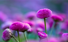 Purple flowers and fuzzy HD wallpaper