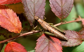 Purple leaves, grasshopper HD wallpaper