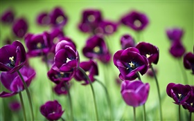 Purple tulip flowers, green background