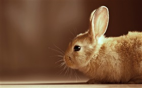 Rabbit close-up HD wallpaper