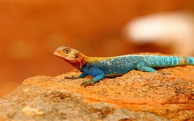 Rainbow lizard close-up HD wallpaper