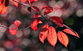 Red leaves under the sun HD wallpaper