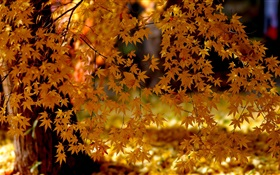 Red maple leaves, tree, autumn