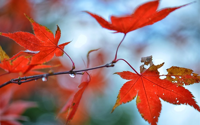 Red maple leaves, water drops Wallpapers Pictures Photos Images